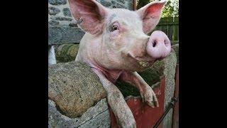 Как зарезать хрюшку самостоятельно, без лишних проблем и нервотрепки(Подробная инструкция, как правильно резать свинью ↑ Перед тем, как забить свинью, ее нужно еще выманить..., 2013-08-10T17:21:44.000Z)