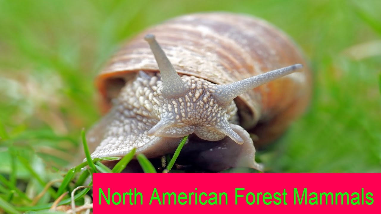 North American Forest Mammals | Kids n Toy | Kid education, learning and playing