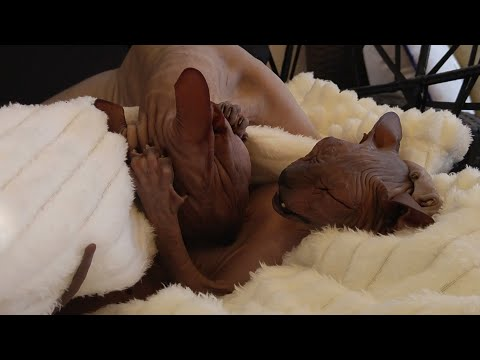 Cute sphynx cat's playing / DonSphynx / 4K