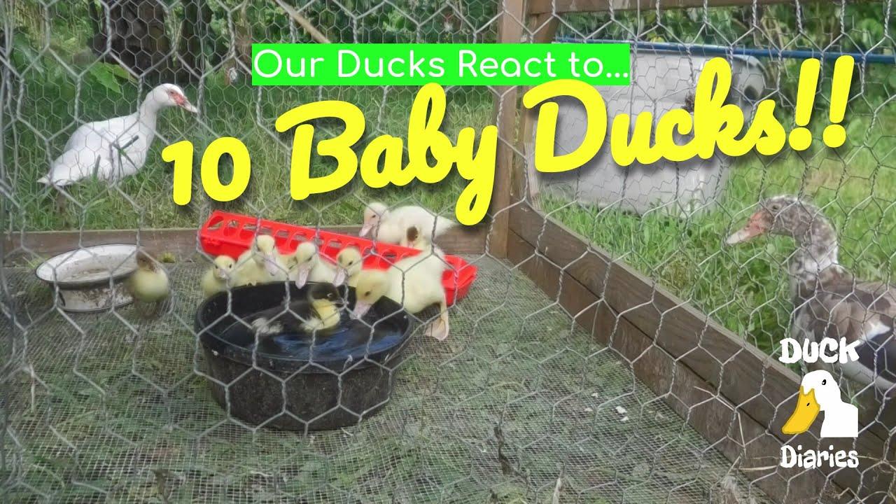 More Ducks!