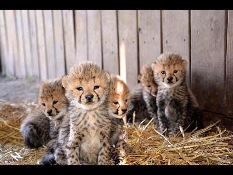 13-cheetah-cubs-born!