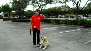 Off Lead Dog Training Labrador Bailey Dogtra E Collar Bike Week Daytona
