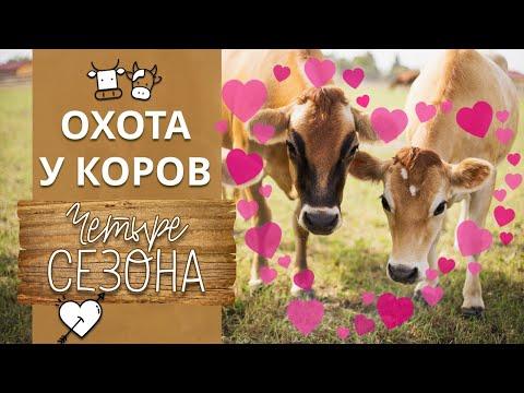 Как понять, что корова в охоте? | Что такое охота у коров?