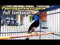 Pancingan Burung Kacer Gacor Isian Full Tembakan  Mp3 - Mp4 Download