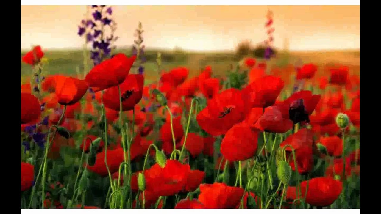 Nice Poppy Field Images Youtube