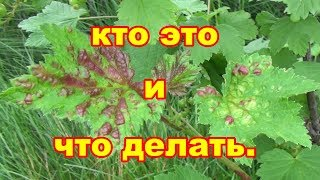 Что делать если появились красные пятна на листьях смородины Обзор средств от вредителей