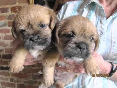 Dogs Picture Collection Of Puppy Terrier Border