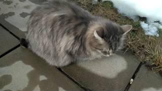 #20 Сибирская кошка и мейн куны на улице, и хитрая мышь