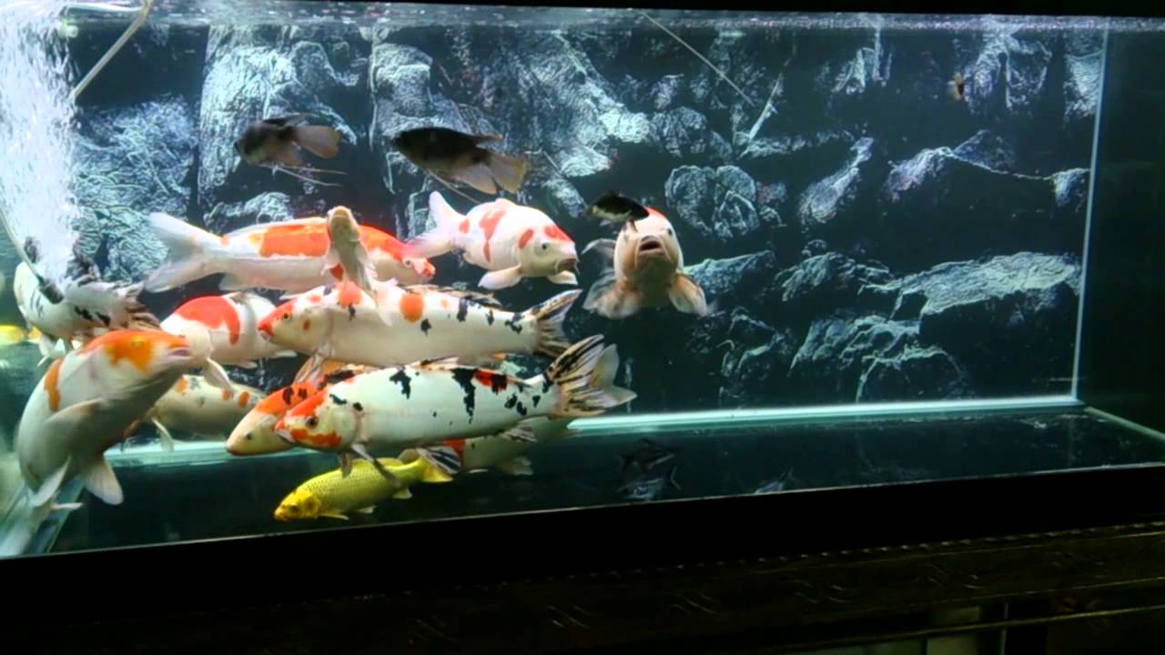 Koi aquarium youtube for Coy fish tank