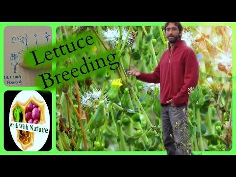 Plant breeding / How to cross new lettuce varieties