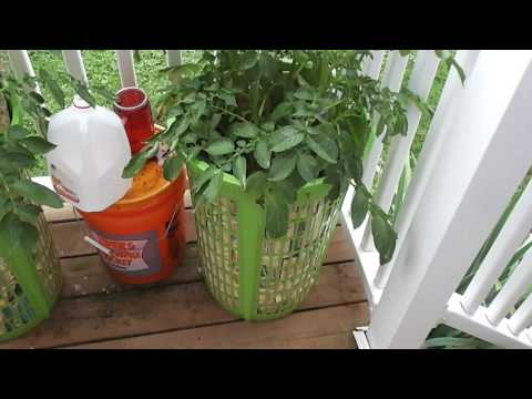 Growing Potatoes in a Laundry basket Review 2, gardening hacks