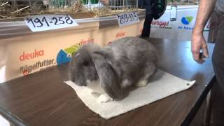 Кролик- Французский баран. Изабелла плащ. Особенности окраса.