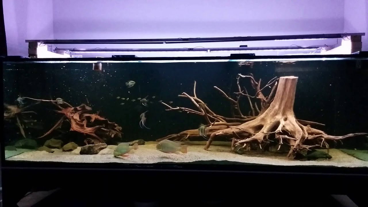 Feeding my 2000 litre amazon aquarium youtube for Amazon aquarium fish