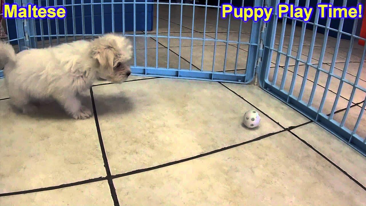 Maltese Puppies For Sale Inomaha Nebraska Nelincoln