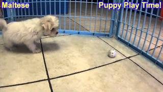 Maltese, Puppies, For, Sale, In,omaha ,nebraska, Ne,lincoln, Bellevue, Grand Island