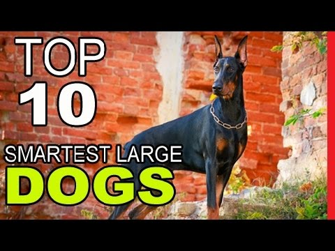 Top 10 Smartest Large Dog Breeds