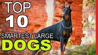 Top 10 Smartest Large Dog Breeds