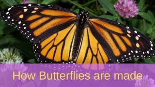 How Butterflies are made