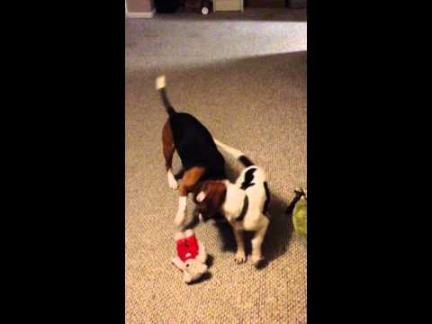 Cute Beagle couple, 1st Valentines