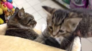 Наша кошка принимает на воспитание котёнка (Щелковская)