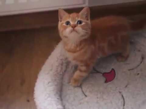 Koty Brytyjskie Rude Miot C Cz1 Youtube