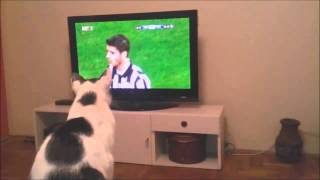 Sport-loving cat intensely watches soccer game
