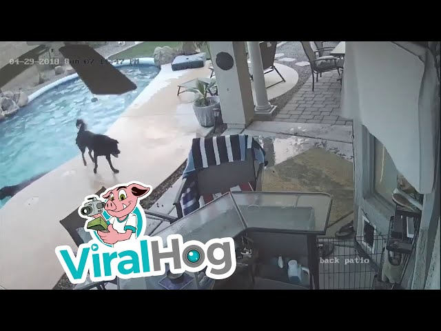 Dog Jumps in Pool to Save His Friend || ViralHog