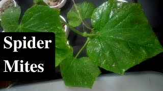 How do I get rid of Spider Mites in an Aquaponic system?