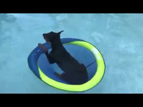 I Wish I Could Trade Places With This Dog :) Doberman Life