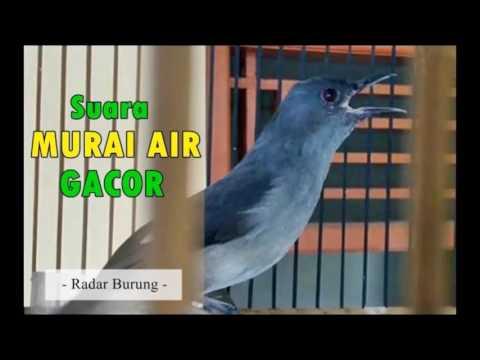 Suara Burung Murai Air Terbaru & Terbaik