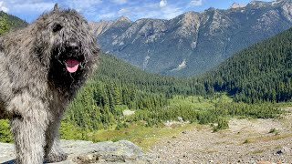 Summer hiking in the Cascades | Bouvier des Flandres & Doberman Pinscher