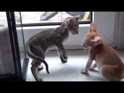 Siamese and Oriental Shorthair kittens Tiffany and Prince 2016 (part 4).