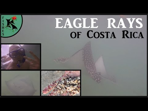 20+ Gorgeous Eagle Rays of Playa Conchal (+2 other batoid species) - Costa Rica Part 6