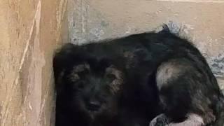 Beautiful BlackTan Terrier at Animal Shelter