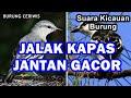 Gambar cover Suara Kicauan Burung Jalak Kapas, Jalak Sutra Gacor Jantan Memanggil Betina Sturnus Sturninus