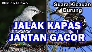 Suara Kicauan Burung Jalak Kapas, Jalak Sutra Gacor Jantan Memanggil Betina Sturnus Sturninus