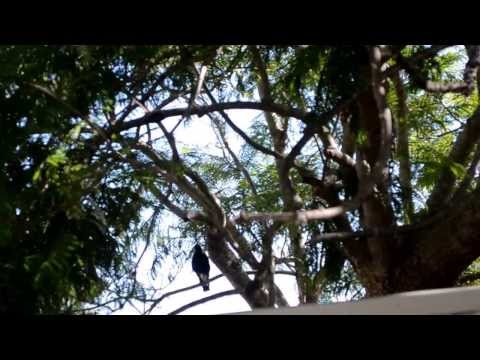 Sounds of the Australian Magpie