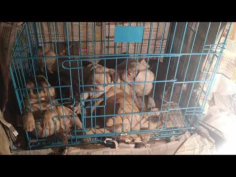 Show quality French Bulldog puppies for sale in Dehradun uttrakhand patna Bihar Delhi Mumbai