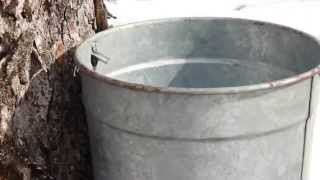 Collecting Sap with a Bucket