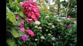 민지-수국水菊의 찻집(가사자막)