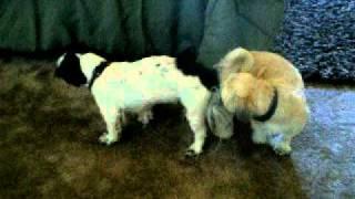 Shih Tzu: Romeo & Sissey Mating!
