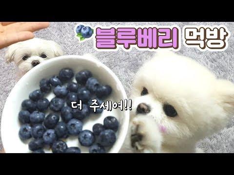 강아지 몸에좋고 맛도좋은 블루베리 먹방🎵 귀여움 뿜뿜! / 말티즈 / 포메라니안 / 반려견