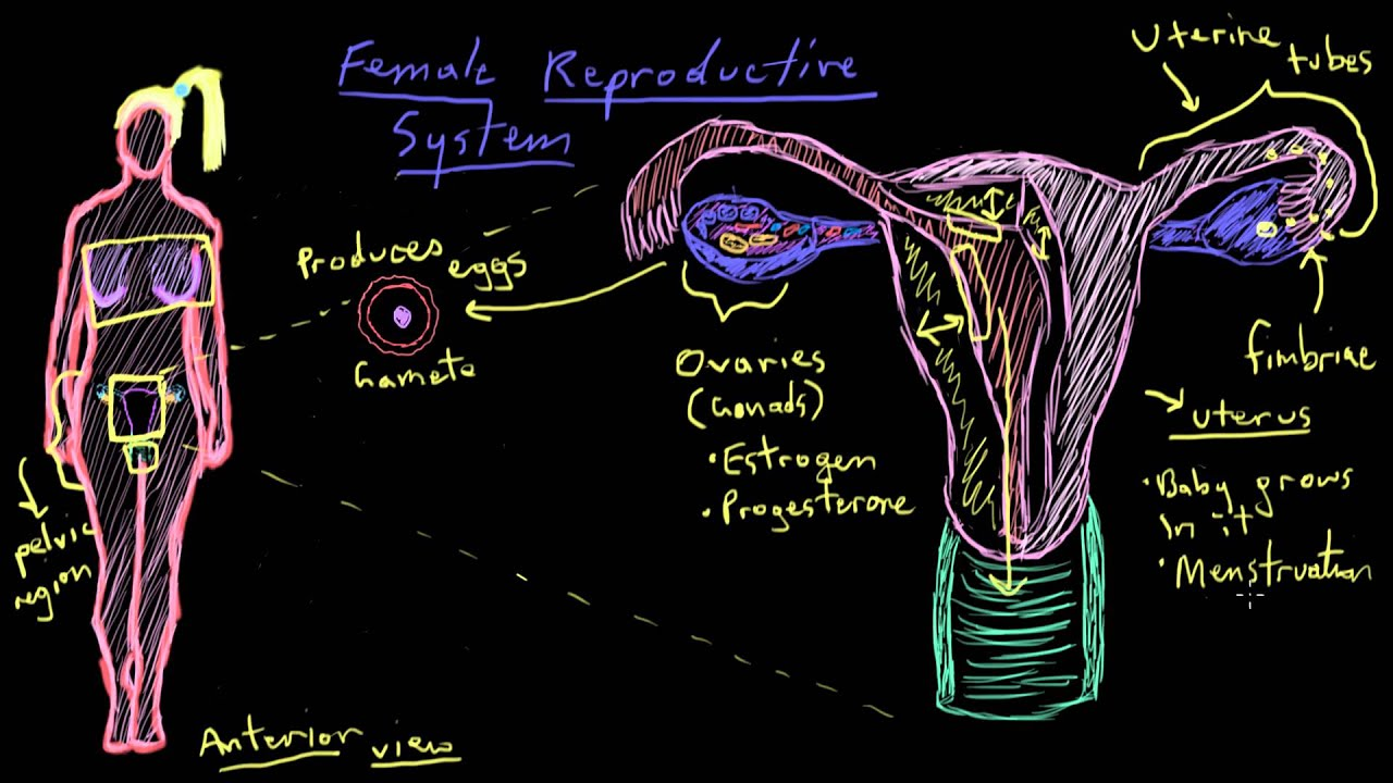 Khan Academy Anatomy Of The Female Reproductive System Youtube