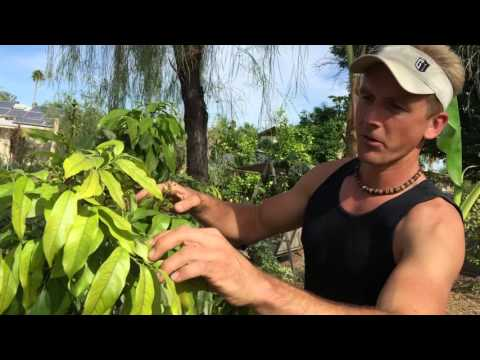 Growing a Tropical Fruit Tree in My Arizona Garden - Lychee