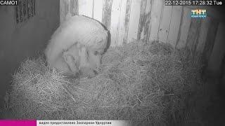 Зоопарк. Рождение двойни у белых медведей.