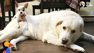 Little Dog And Big Dog Brother Are Inseparable - BIG BEN & TINY TIM | The Dodo