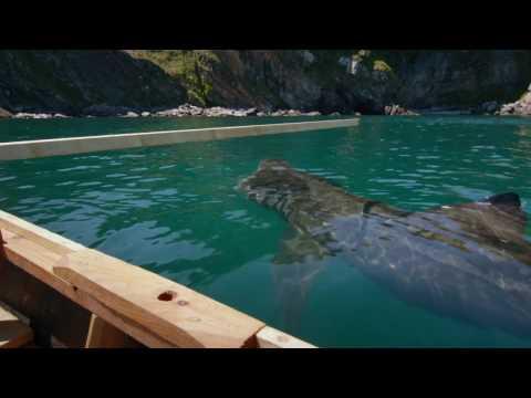 Basking Sharks