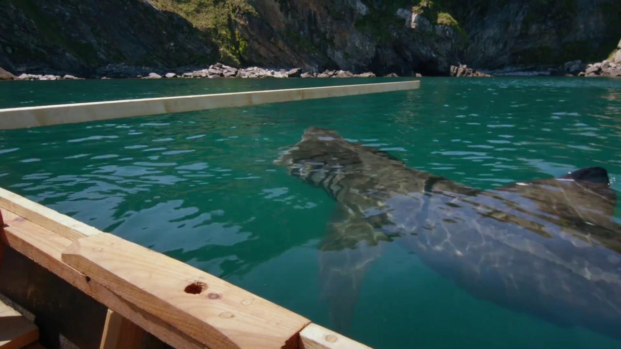 basking sharks youtube