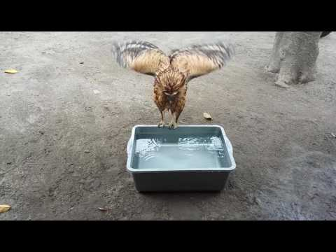 Memandikan Buffy Fish Owl