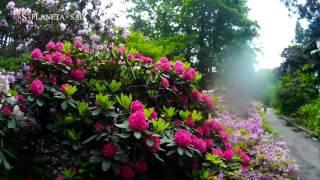 Цветение Рододендронов - как красиво!!!Это нужно видеть